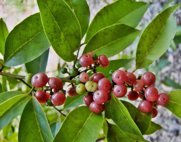 Một số bài thuốc chữa bệnh từ cây bưởi bung